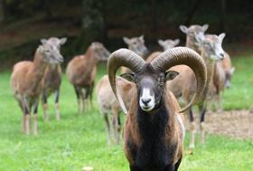 stary-tryk-muflona-i-jego-owce-831x560